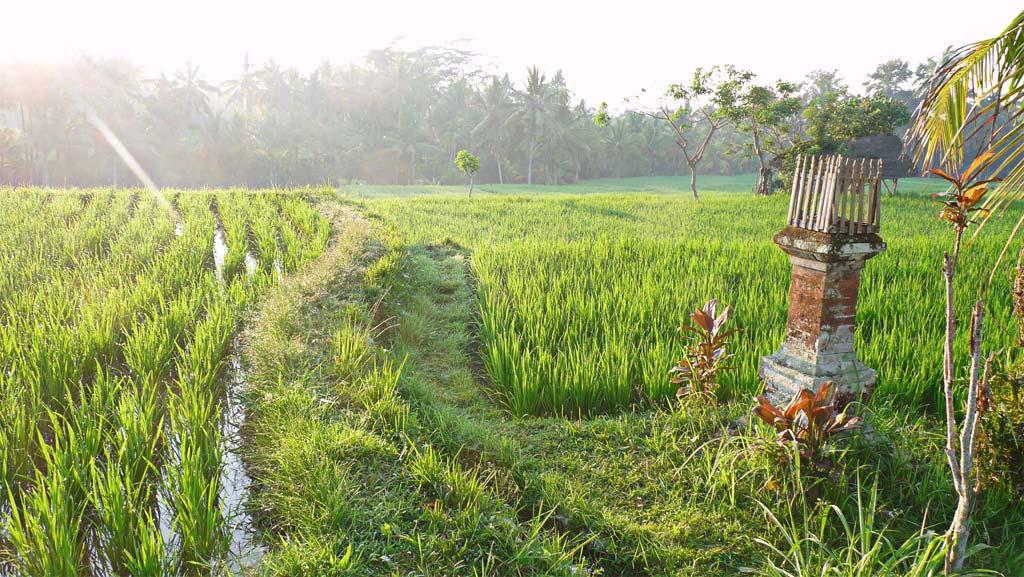 Les rizières près de Kupu-kupu Foundation