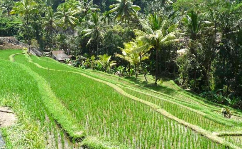 Sawah indah Bali